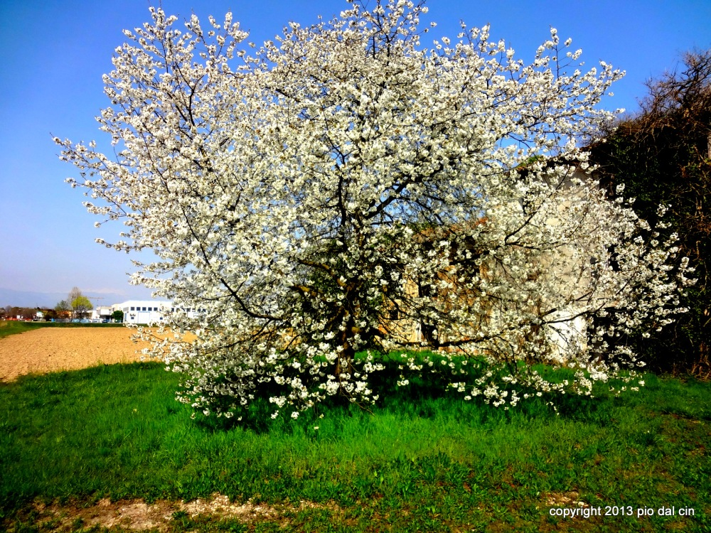 Cherry Blossom in Italy