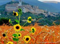 Assisi e girasoli